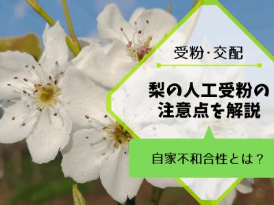 梨の人工受粉・授粉の注意点【自家不和合性とは?】 4