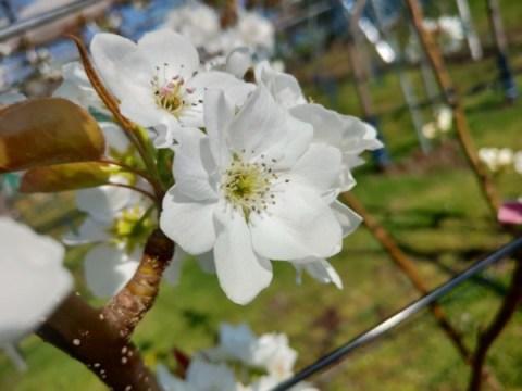 梨の花粉の馴化・授粉作業の手順を解説【受粉方法まとめ】 310