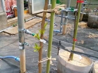 長い苗をつくる方法。イモムシ注意 190