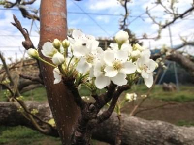 晩生の梨は早く咲く? 37