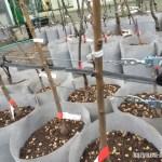 【梨の育苗】長い苗にするための栽培ポイントを紹介 12