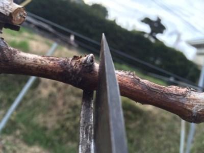 芽揃いのための、ブドウの芽傷処理 6