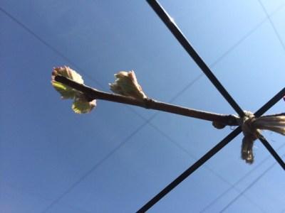 育種ブドウの萌芽。他より早いので対策。 47