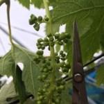 【種ありブドウの房作り】の仕方 11