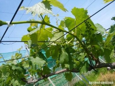【ブドウの誘引・新梢管理】房作り前の誘引時に注意するポイント 35