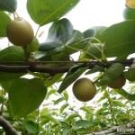 【梨の育苗】長い苗にするための栽培ポイントを紹介 14