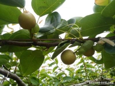 【梨の本摘果】果実は間隔をあけて実らせる 4
