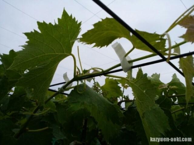 【ブドウの摘心で粒を肥大させる方法と時期を解説】5月下旬~7月上中旬の時期に行う 15