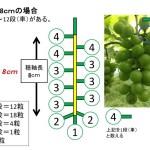 【ブドウの本摘粒】軸長は何cmが良い?軸長の長さが収穫時の房におよぼす影響とは?【画像あり】 375