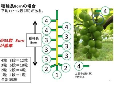 【ブドウの本摘粒】軸長は何cmが良い?軸長の長さが収穫時の房におよぼす影響とは?【画像あり】 37