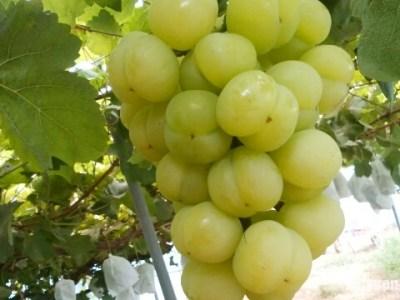 プリッとしたブドウ「瀬戸ジャイアンツ」を収穫したよ! 10