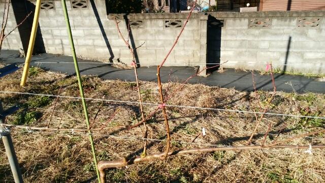 【桃のジョイントの剪定方法】太枝が出た時の対処法 47