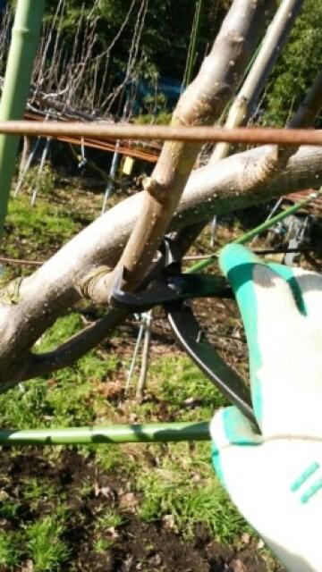 梨の稔枝鋏・幹割り鋏(バネ・止革付)210mmの性能を解説【梨の捻枝(ねんし)が簡単にできるおすすめ剪定鋏】 284