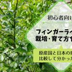 フィンガーライムの栽培·育て方を解説【原産国と日本の環境を比較して分かったこと】