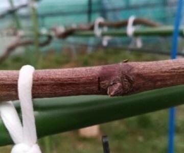 ブドウの芽傷(めきず)処理の時期は2月下旬~3月上旬 4