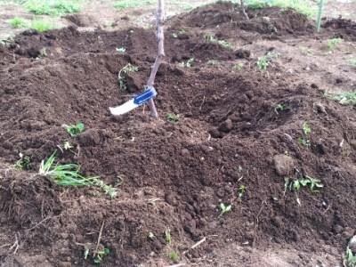 【果樹苗の定植の方法】水締めをして定植した苗が動かないようにする 5