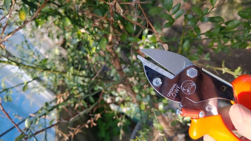 フィンガーライムの栽培·育て方を解説【原産国と日本の環境を比較して分かったこと】 636