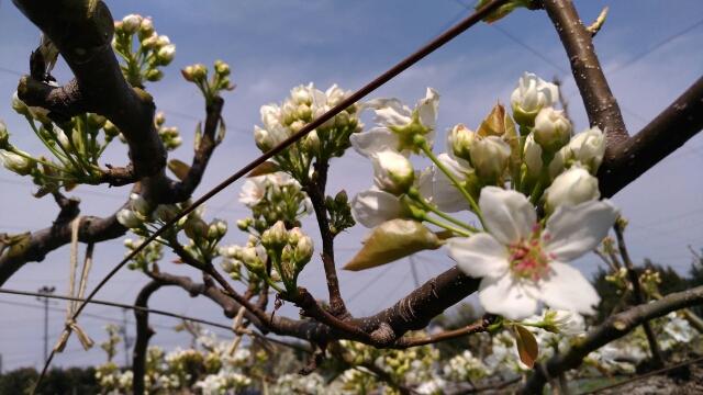 【梨の摘蕾(てきらい)】幸水·筑水·あきづき·豊水など品種別の摘蕾方法を解説 49