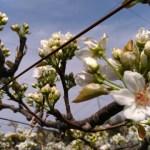 【梨の摘蕾(てきらい)】幸水·筑水·あきづき·豊水など品種別の摘蕾方法を解説 50