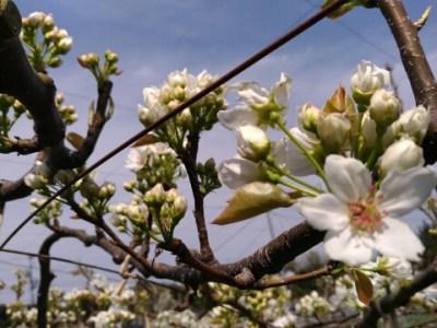 【梨の摘蕾(てきらい)】幸水·筑水·あきづき·豊水など品種別の摘蕾方法を解説 3
