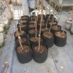 【苗木】購入した果樹苗をルートポットに植替えする方法とポイント 61