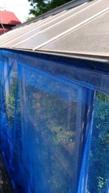 フィンガーライムの害虫【アゲハ蝶·いも虫の対策】防虫ネットを設置して侵入を防ぐ方法 65