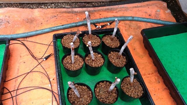 ロックウールを使ったブドウの接ぎ木の成功率 23