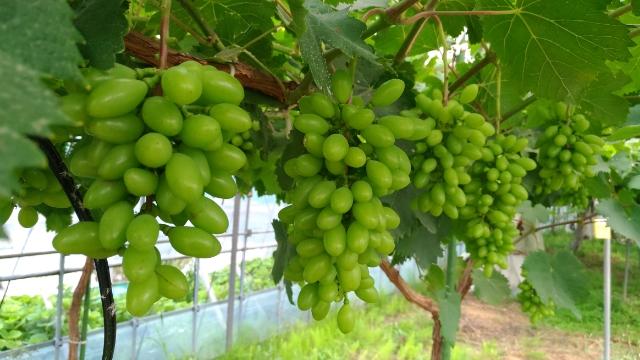 省力化・高糖度ブドウの【黒いバラード】の摘粒・軸長・粒数などを解説 59