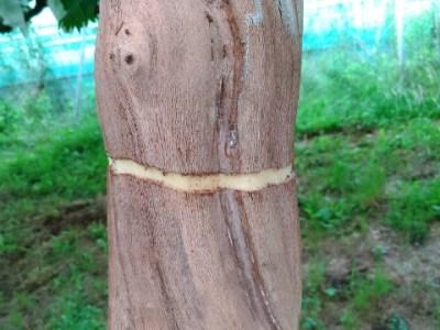 【ブドウの着色不良対策の環状剥皮処理】環状剥皮の方法と時期を解説 4