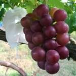 【ブドウの環状剥皮の30日後の結果】環状剥皮をしたブドウしてないブドウの着色を比較 38