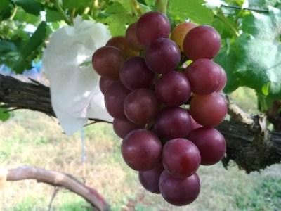 【ブドウの環状剥皮の30日後の結果】環状剥皮をしたブドウしてないブドウの着色を比較 7