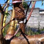 【桃の環状剥皮】環状剥皮後の枝を画像で紹介。枝のバランスに注意する 49