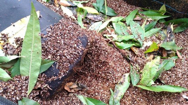 【桃のJV苗を定植するときのポイント】斜立育苗した苗だと植えやすい 23