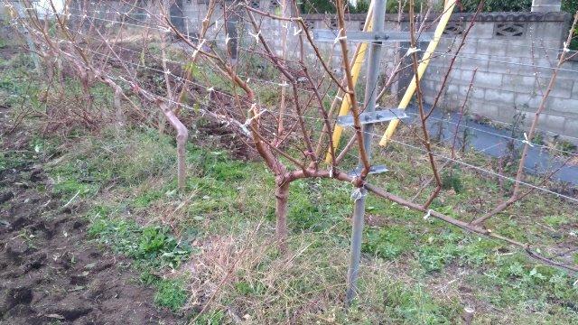 【JV仕立ての桃の剪定を比較】立ち木に比べて剪定速度が圧倒的に早い 17
