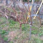 【JV仕立ての桃の剪定を比較】立ち木に比べて剪定速度が圧倒的に早い 15
