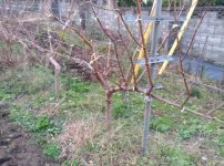 【JV仕立ての桃の剪定を比較】立ち木に比べて剪定速度が圧倒的に早い 65