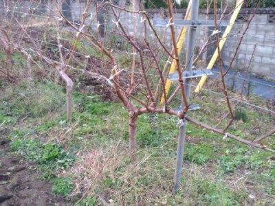 【JV仕立ての桃の剪定を比較】立ち木に比べて剪定速度が圧倒的に早い 96