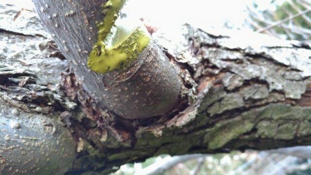 【梨の剪定】根元に近い太い枝の剪定および誘引方法 36