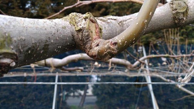 【梨の剪定のポイント】コブを少し残して新梢を出させる方法 9
