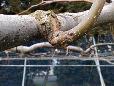 【梨の剪定のポイント】コブを少し残して新梢を出させる方法 4
