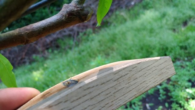 【桃のジョイントの接ぎ木方法を解説】使った道具とポイントを解説 37