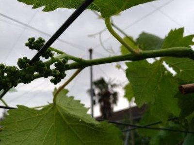 【ブドウの捻枝】新梢を棚に誘引して摘粒作業の効率UPさせる 3