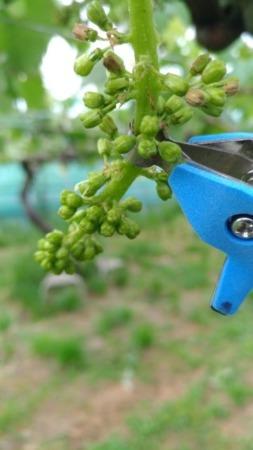 【サボテン ぶどう花穂整形器の使用レビュー】房作りを省力化する道具で効率化 79