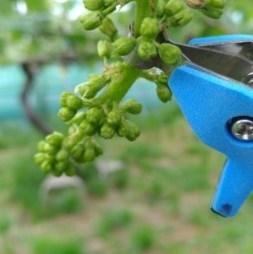 【サボテン ぶどう花穂整形器の使用レビュー】房作りを省力化する道具で効率化 113