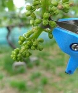【サボテン ぶどう花穂整形器の使用レビュー】房作りを省力化する道具で効率化 36