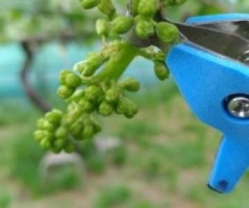 【サボテン ぶどう花穂整形器の使用レビュー】房作りを省力化する道具で効率化 4