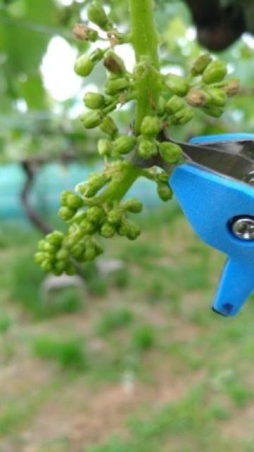 【サボテン ぶどう花穂整形器の使用レビュー】房作りを省力化する道具で効率化 28