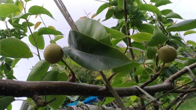 【梨の本摘果のやり方】果実の残し方とその理由を画像で解説 96
