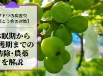 ブドウの黒とう病対策【休眠期~収穫期までの防除・農薬を解説】 319