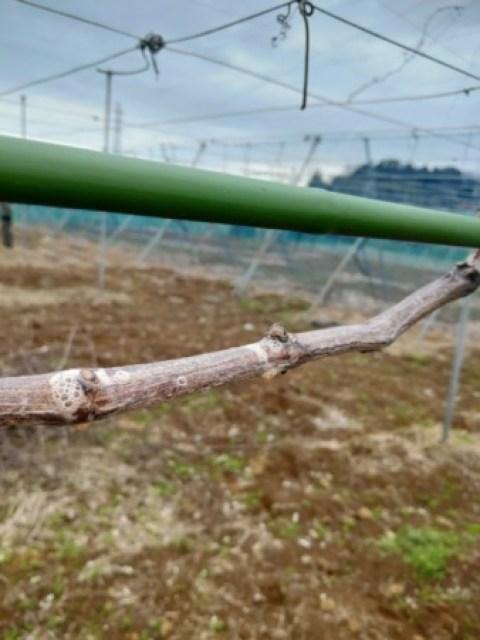 ブドウの病害虫【黒とう病の対策】発芽前の休眠期の防除で発生を減らす方法 80